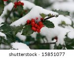 Holly Berries Covered With...