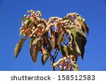 Creek Dogwood Berries Autumn I...