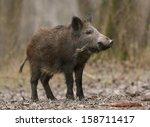 wild boar standing on ground in ...   Shutterstock . vector #158711417
