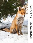 Young Red Fox Sitting In The...