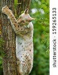 eurasian lynx  lynx lynx   | Shutterstock . vector #159265133