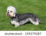 funny dandie dinmont terrier in ...   Shutterstock . vector #159279287