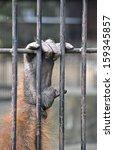 orangutan hand grabbing cage  | Shutterstock . vector #159345857