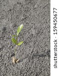 Small photo of Aegiceras cornicalatum sprout growing on the beach