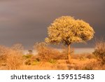 Small photo of Acacia nigrescens knobthorn tree in full flower bloom in Kruger National Park South Africa