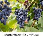 Saperavi Grape  By Far The Mos...