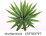 agave in pot | Shutterstock . vector #159783797