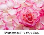 Stock photo pink rose petals and rose 159786803