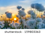 cotton grass on a background of ... | Shutterstock . vector #159803363
