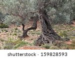 Old Trunks Of Olive Trees ...