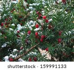 Baccata Branch With Berries...