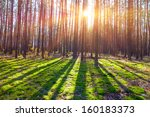 Pine Tree Forest In A Rays Of...