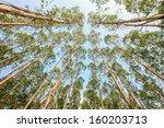 Eucalyptus Tree Against Sky