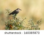 Common Starling  Sturnus...