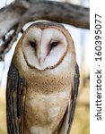 Close Up Of Common Barn Owl...