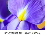 A Beautiful Purple Iris Flower...
