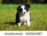 Border Collie Puppy In Nature