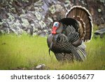 Wild Turkey  Meleagris...