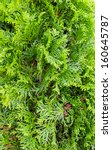 Small photo of Thuja hedge - american arborvitae, evergreen tree