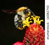 Bumblebee On Flower   Closeup...