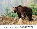 bear in forest   Shutterstock . vector #160897877