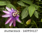 Passiflora Loefgrenii   Flower