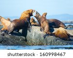 Steller Sea Lions Resting On...