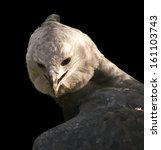 Small photo of Harpy eagle (Harpia harpyja) close-up