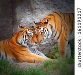 tiger's couple. love in nature.   Shutterstock . vector #161191217
