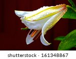 bud of white lily casablanca... | Shutterstock . vector #161348867