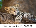 A Young Leopard Cub Resting On...