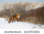 Red Fox In A Snowy Landscape.