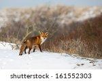 Red Fox In A Snowy Landscape.