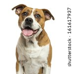 Stock photo close up of an american bulldog panting isolated on white 161617937