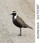 Small photo of An American golden plover stands on a road in the arctic tundra near Barrow, Alaska