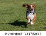 Basset Hound Having Fun Runnin...