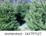 A Christmas Tree Farm In The...
