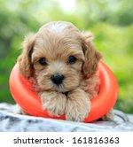 Cute Poodle Puppy