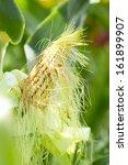 Green Ear Of Corn In A Corn...