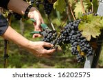 Hands at wine harvest - stock photo