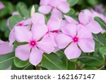 Beautiful Pink Vinca Flowers...