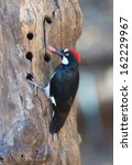 Small photo of Acorn Woodpecker with food.
