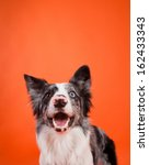 Happy Blue Merle Border Collie...