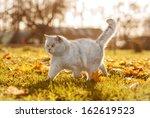 British Shorthair Cat In Autumn
