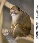 Small photo of Allen's swamp monkey (Allenopithecus nigroviridis) sitting on branch