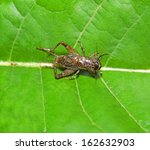 a cricket on the green leaves   | Shutterstock . vector #162632903