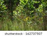 Purple Smooth Crabgrass Flower...