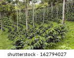 coffee bushes in a shade grown...   Shutterstock . vector #162794027
