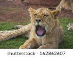Yawning Lion Cub With Eyes Hal...
