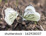 The Green Veined White  Pieris...